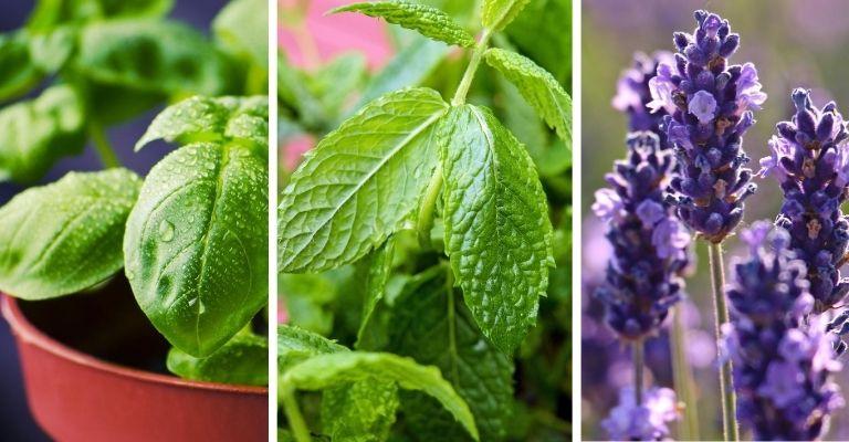 repelentes de plantas