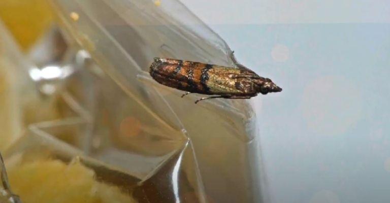 Cómo eliminar las mariposas alimenticias y evitar que regresen