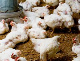 Limpieza de aves de corral: reglas básicas