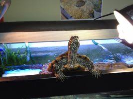 Limpieza del acuario de tortugas